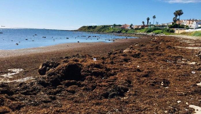 El Puerto licita la retirada de algas invasoras en la playa del Chinarral