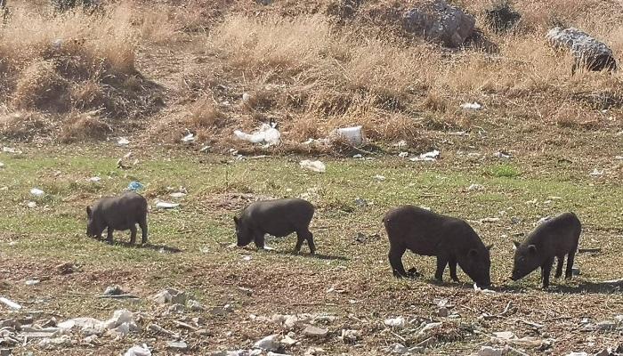 Los cerdos vietnamitas serán sacrificados en Algeciras