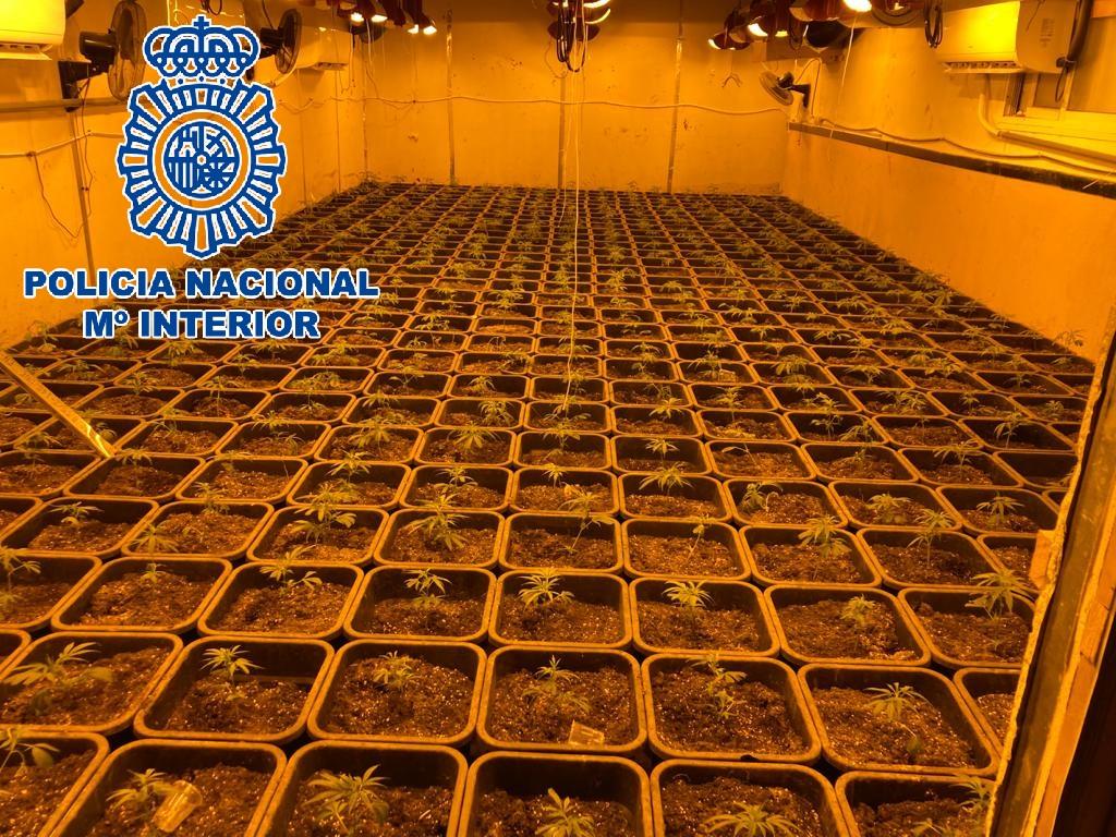 Plantación de marihuana. Foto CNP