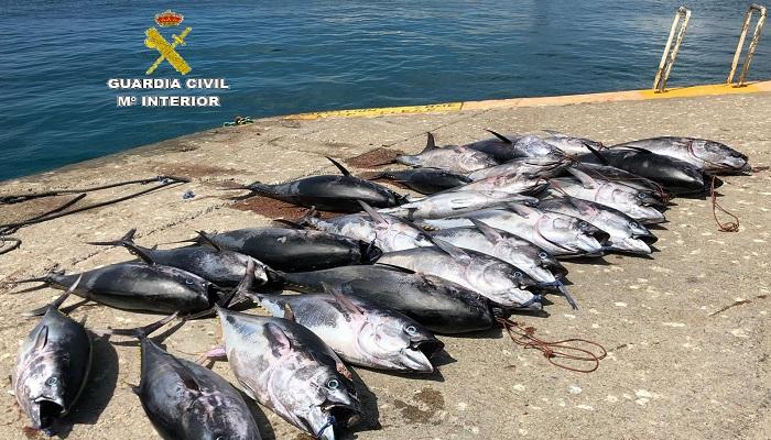 Imagen de los atunes intervenidos por la Guardia Civil en Tarifa