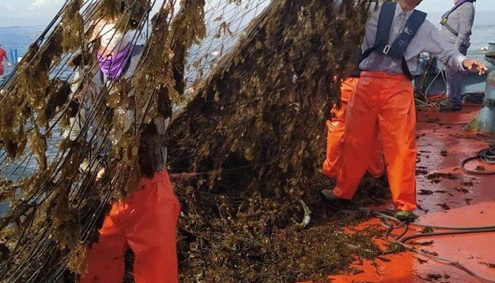 El alga afecta seriamente a los pescadores