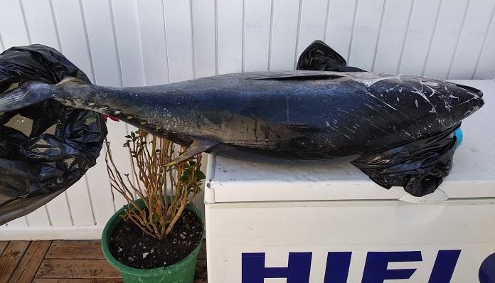El atún rojo decomisado