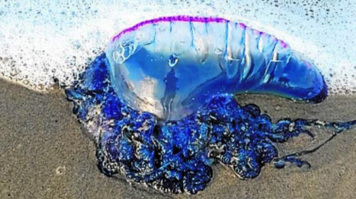 La posible aparición de medusas, preocupa en el municipio sanroqueño
