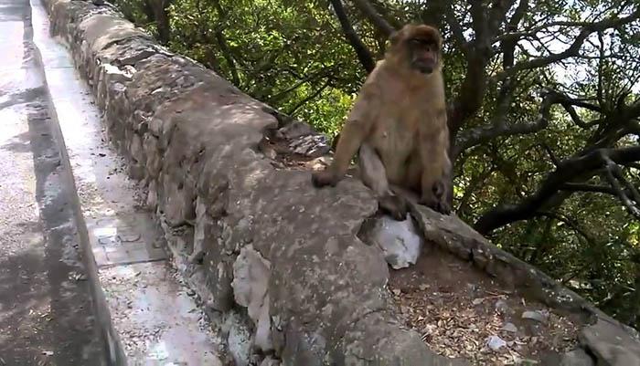 Monos en la reserva natural de Gibraltar
