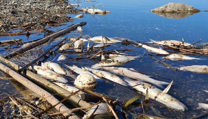 Peces muertos en la desembocadura del río Guadiaro. Foto Verdemar