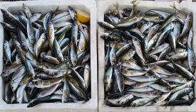 Pescado recién desembarcado en un puerto andaluz