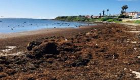 Adjudicada la retirada de alga invasora en el litoral de dominio portuario