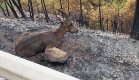 Un animal afectado por el voraz incendio (COVM)