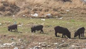 Cerdos en una zona de Algeciras