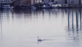 Imagen del cisne en el puerto de Algeciras. Foto ER