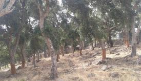 Agaden denuncia el descorche ilegal en el Monte Majadal de Los Alcornocales
