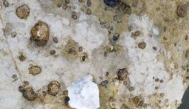 Verdemar Ecologistas en Acción alerta de nuevo del expolio que sufre la lapa ferruginea
