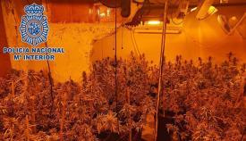 Imagen de la plantación de marihuana. Foto: Interior