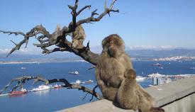 Monos de Gibraltar con la Bahía de Algeciras al fondo