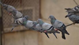 La Línea ejercerá control sobre su alto número de palomas. Foto: lalínea.es