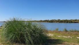 El plumero de la pampa en el río Guadiaro.