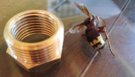 Verdemar alerta sobre las avispas exóticas y las autóctonas