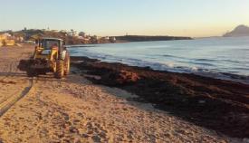Endesa firma un acuerdo para el estudio del alga invasora en la Bahía
