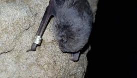 La exposición trata sobre los murciélagos y destierra falsos mitos