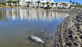 Un pez muerto en la desembocadura del río Guadiaro. Foto NG